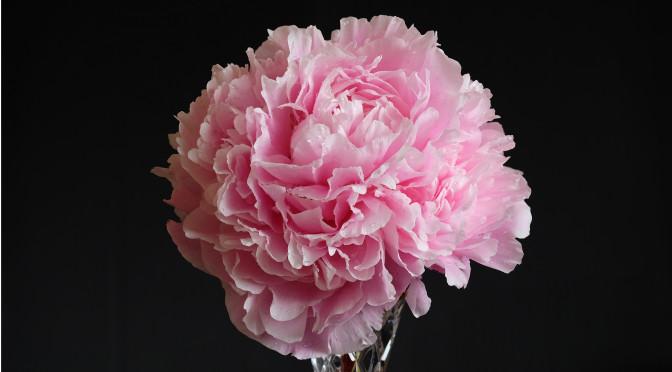 Photo; Peony flower