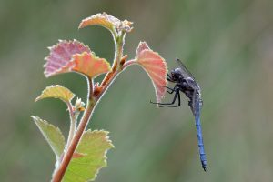 Picture; Blue Keeled Skimmer