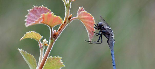 Photo; Blue Keeled Skimmer