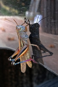 Cricket hitch a ride